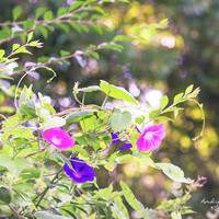 Morning Glory by Andrea Anderegg Photography