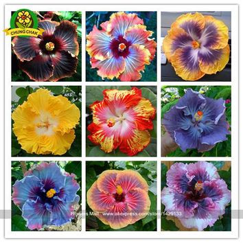 Flower seed Hibiscus seeds 200PCS hibiscus tree seeds potted plants Ant farm Indoor outdoor Seeds of perennial garden flowers