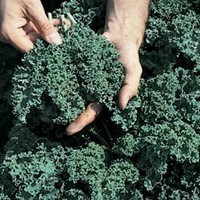 Kale Vates Blue Curled Great Heirloom Vegetable 500 Seeds By Seed Kingdom