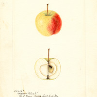 Apples, Maiden Blush (1900)