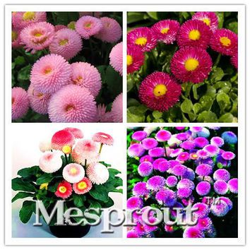 Big Promotion! 50PCS Seeds A Lot African Blue Eyed Daisy Seed Osteospermum seeds Garden Plant Bonsai Mix Flower DIY home &garden
