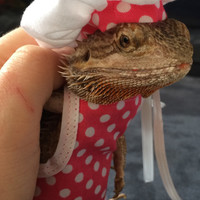 Handmade Chef's Outfit for Bearded Dragons-- chef's hat with matching apron and cooking mini