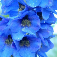46 Big flower delphinium seeds