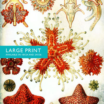 Ernst Haeckel Asteridea Print Starfish Art Vintage Nautical Decor Ocean Wall Art - Giclee Print  on Canvas & Satin