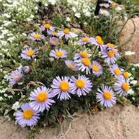 Heirloom 2000 Seeds Showy Daisy Erigeron speciosus Lindley Fleabane Aspen Flower Bulk Seed S057