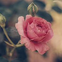 Cottage Rose Photography Pastel Rose Art Print Soft Pink Rose Dreamy Rose Photo Download Cottage Rose Print Flower Photo ~ Commercial Use