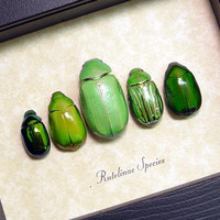 Shiny Green Jewel Leaf Beetles Real Framed Insect Collection 8090