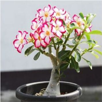 Multi-color Desert Rose Seeds Potted Flowers Seeds Ornamental Plants Obesum Seeds 1PCS