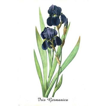 vintage botanical poster IRIS GERMANICA FLOWER vibrant PURPLE 24X36 unique