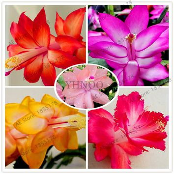 100pcs/bag schlumbergera seeds Christmas cactus plant seeds,multiple color,bonsai plant for home and garden,easy to plant