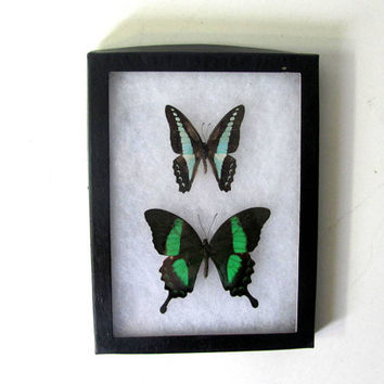 Vintage Framed pressed Butterflies. Specimen box with green butterflies. Wall hanging picture