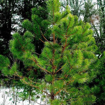 Lot of 20 Red Pine