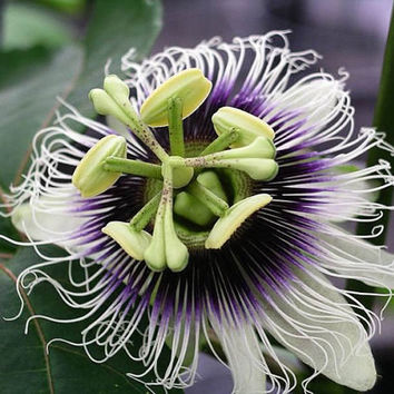 40 Tropical Exotic Passion Fruit Seed Purple Passiflora edulis High Germination Rate Edible Heirloom Garden Plant Home Decor Blooming Flower