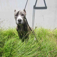 Petfinder Adoptable | Dog | Pit Bull Terrier | Los Angeles, CA | A1500354
