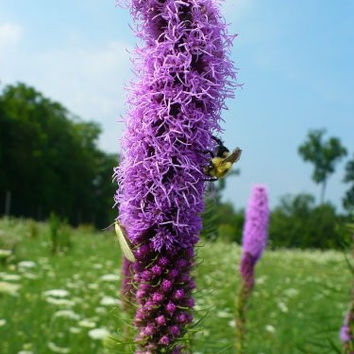 The Dirty Gardener Liatris Blazing Star Gayfeather Flowers - 100+ Seeds