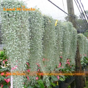 Heirloom Hanging Dichondra micrantha Bonsai Seeds, 100 Seeds, Beautiful Garden Flowers Plants Outdoor-Land Miracle