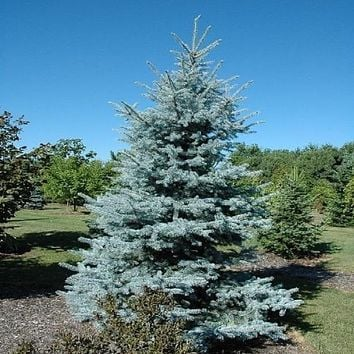 Tree seeds Home Garden Plant Evergreen Black pine Colorado Blue Spruce Picea Pungens Glauca Tree Courtyard planters 20 seed
