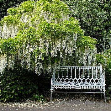 White Wisteria sinensis alba, fragrant vine, 5 seeds, sun or shade, cold hardy, sun or shade, zones 5 to 10, cover an arbor, lovely bonsai