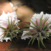 2 Air Plants and Pink Murex Sea Shell