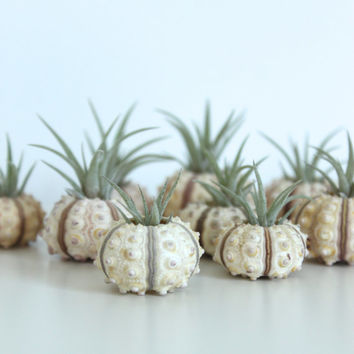 Tiny Urchin Air Plant Planter with Baby Air Plant