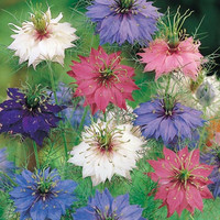 200 love in a mist seeds mix nigella damascena