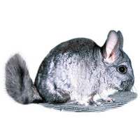 Pet Chinchillas for Sale » Chinchilla - Live Pets | PetSmart