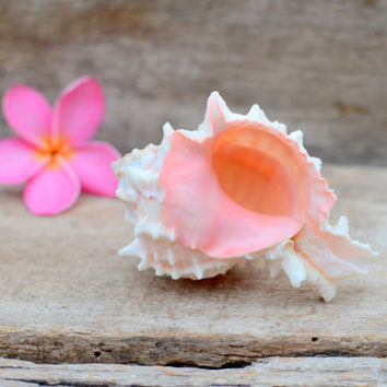 "10 Pink Murex Sea Shells 2-3"" Inch Beach Wedding Air Plant Hermit Crab - Natural Eco Pink White Reception Nautical Ocean Table Decorations"