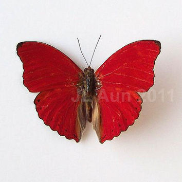 Real Butterfly Specimen Unmounted Ready Spread by ButterfliesByAun