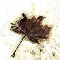 Print Photography or Greeting Card, Maple Leaf Frozen in Time, Fine Art Photography, Gift Idea, Wall Art, Nature, Woodland