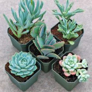 Succulent Collections | Mountain Crest Gardens™