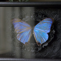 Pearl Morpho- Museum Glass Shadow Frame Display - Insect Bug Oddity Curiosity Art