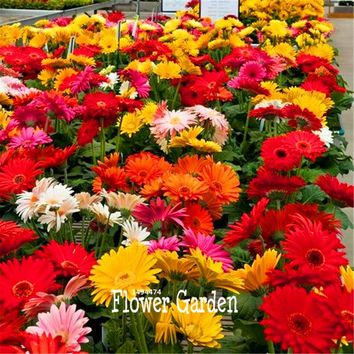 100 Pieces/Pack Lowest Price!Gerbera Daisy Hybrids Mix Flower Seeds Bonsai plants easy to grow Seeds for home & garden