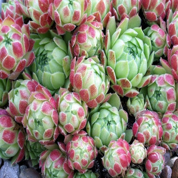 Hens And Chicks Succulent Mix Seeds (Sempervivum Hybridum) 50+Seeds