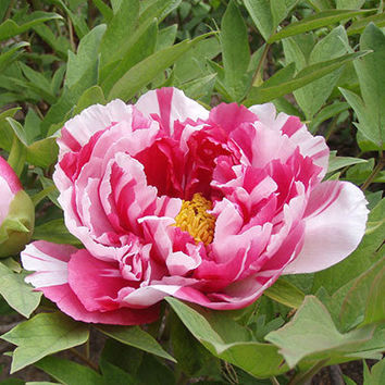 5 Flower King Pink Red Peony Flower Seeds Heirloom Rare Beautiful Garden Bonsai Plants Fragrant Big Blooming Gorgeous Potted Balcony Decor