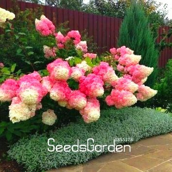 Hot Sale Item! 20 count/pack Vanilla-Strawberry Hydrangea Flower Seeds