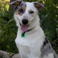 Petfinder Adoptable | Dog | Australian Shepherd | Wichita, KS | Sadie