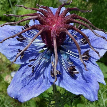 30 Black Cumin Nigella Sativa Roman Coriander Roman Blue Medicinal Flower Seeds - Rare and Exotic Heirloom Seeds Home Garden