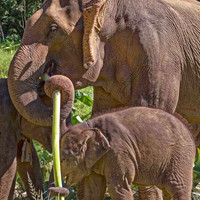 Animal Photography Fine Art Digital Print Thailand Mother and Baby Elephant