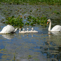 The Swan Family - Michigan - Fine art photography Blue wall decor Swans and cygnets Wildlife photography - Morris Alkalay
