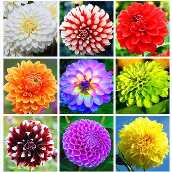 1 Bulb Dahlia Bulbs (Not Dahlia Seeds)Beautiful Perennial Bonsai Flower Gorgeous Flower Balcony Potted Plant For Home Garden