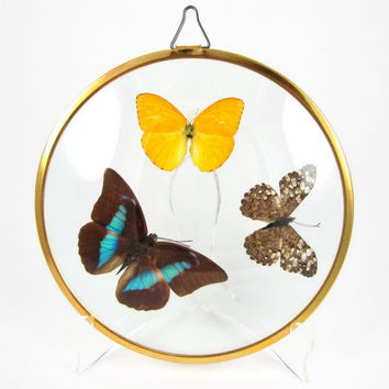Frozen Flight - Vintage Mounted Butterfly Wall Hanging, Real Blue Morpho & Sulphur Phoebis Specimens Under Round Convex Dome Glass