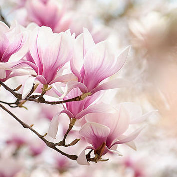 Pastel spring photograph, magnolia photography print, magnolia tree print, pink flower photography, dreamy nature print