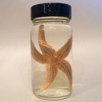 Preserved Starfish