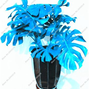 Blue Monstera Seeds Indoor Plants Flowers Seeds Outdoor Decorative Landscaping Desk Supplies Perennial Turtle Leaves 120 Pcs