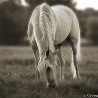 Black & White Fine Art Photography, Matted Print and Photo Card of an Arabian Horse, White Horse Grazing, Meadow
