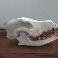 Porcelain coyote skull with 14 k gold teeth