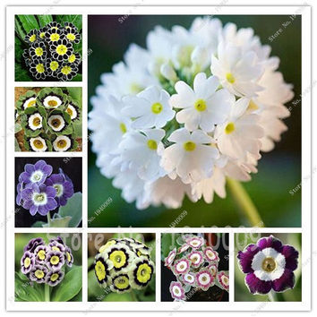 Imported Evening Primrose Seeds, Primula Malacoides Flowering Plants 50 Pcs Home Garden Hardy Plant For Flower Pot Planters