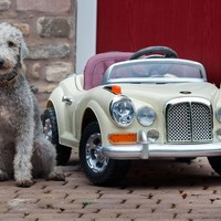 A Very Playful Pooch Has Got Back behind the Wheel as He Drives around in Rolls Royce