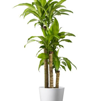 LIVE Dracaena Cane with White Matte Ceramic Container - Ships Alone