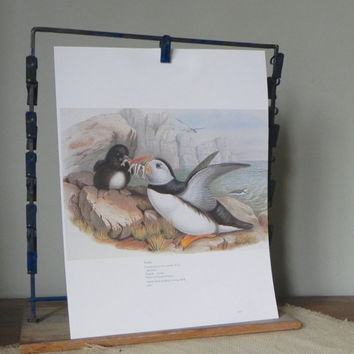Vintage book plate print of puffin bird feeding its young with fish book plate black white grey rocks cliffs